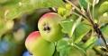 Spør naboene dine om å få plukke frukt og bær